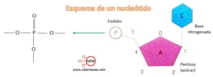 esquema de un nucleotido