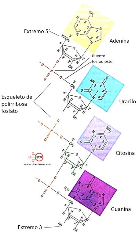 estructura de las cuatro bases nitrogenadas