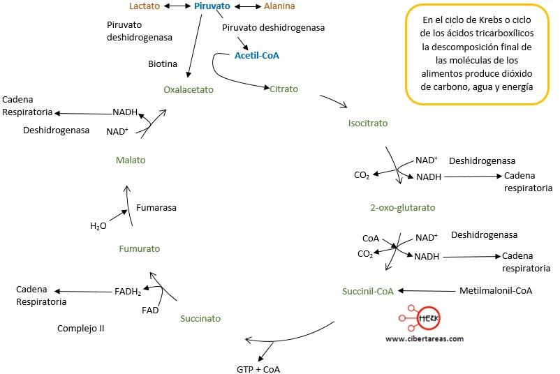 Las reacciones de oxidación-reducción en los seres vivos – Temas ...
