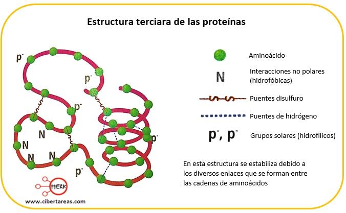 Estructura terciaria de las proteínas – Temas Selectos de Química 2 0