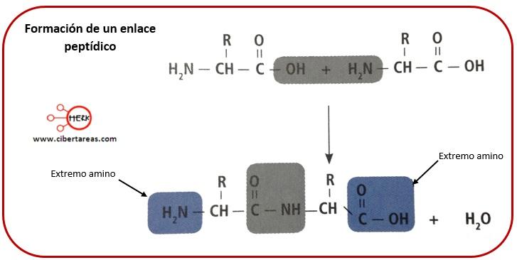 Estructura de las proteínas – Temas Selectos de Química 2 5